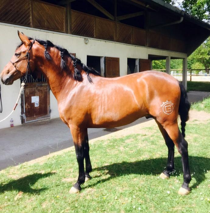 Belcebu pure race espagnole - élevage Gouello